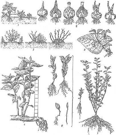 размножение кустарников